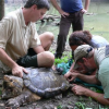 Tagging an alligator snapping turtle.