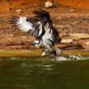 Cindy Matthew's spectacular shot of an osprey at Lake Allatoona ~ USACE