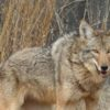 Wily Coyote Hunters Wanted in Georgia