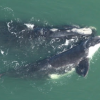Right Whale Calf ~~ Photo Courtesy of GA's Department of Natural Resources